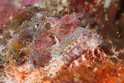 BD-160102-Kalanggaman-2015-Scorpaenopsis-oxycephala-(Bleeker.-1849)-[Caledonian-devilfish].jpg